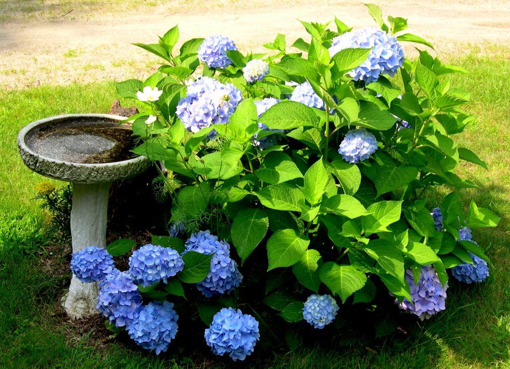 Blue flowers on a hydrangea shrub