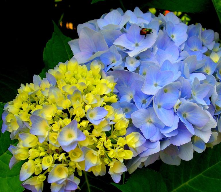 Blue hydrangea flower and bud