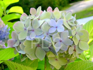 hydrangea of blue and green