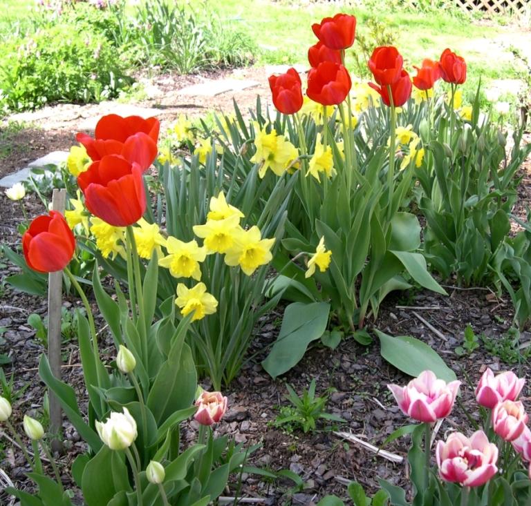 tulips and daffodils