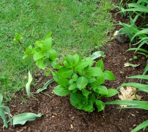 Hydrangea planting