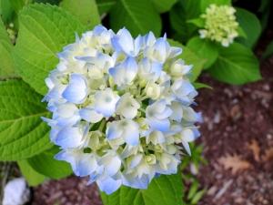 blue hydrangea flower