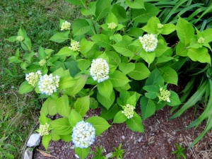 hydrangea shrub with blue flowers