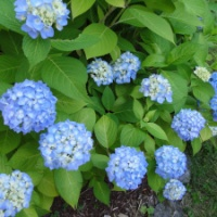 Making Hydrangea Flowers Turn Blue: Lowering the pH