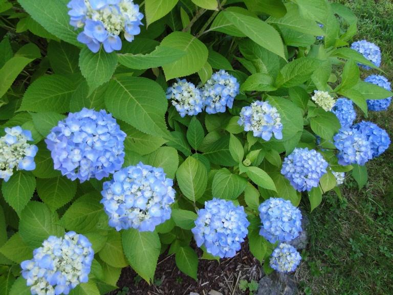 Blue hydrangea shrub