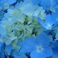 More Pictures of Blue Hydrangeas