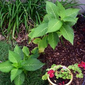 small hydrangea plant