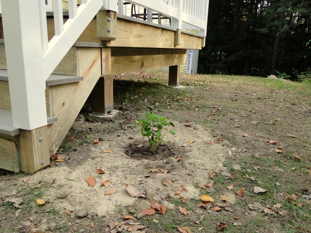 New little hydrangea plant