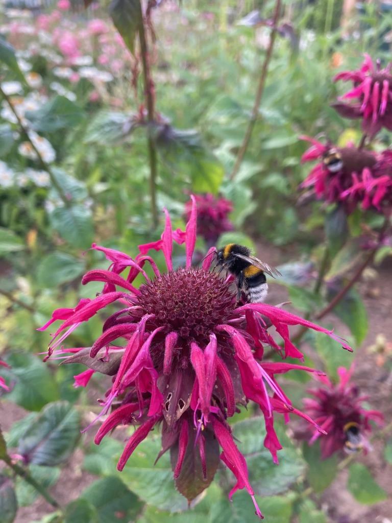 monarda bee balm flower bright pink red