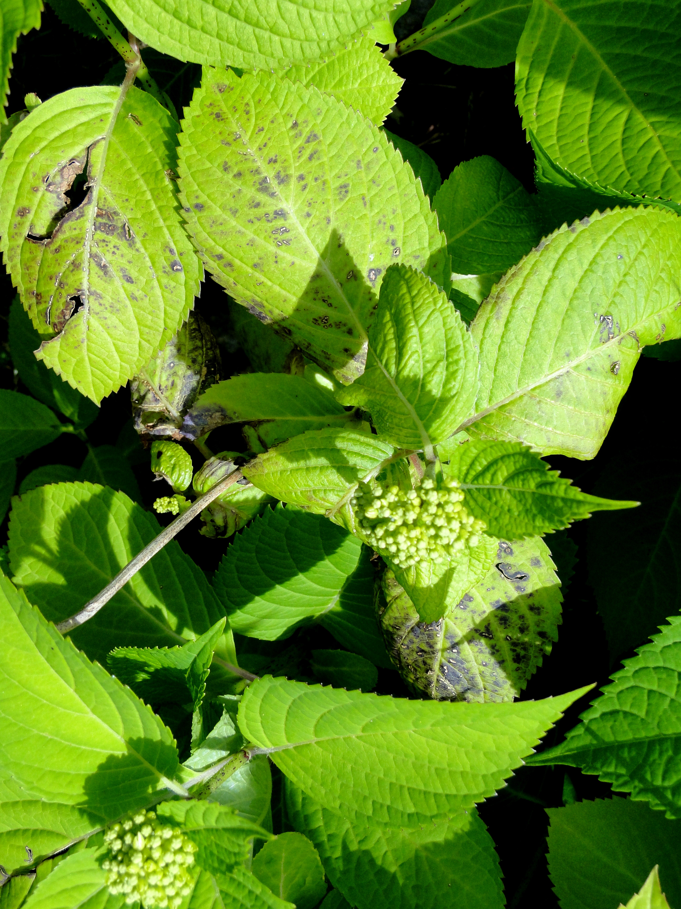 Hydrangeas blue gardening design with emphasis on hydrangeas