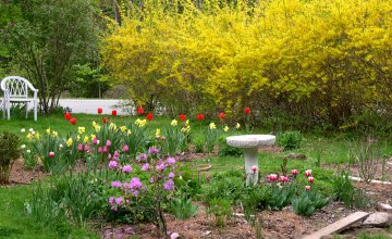 tulips and forsythia