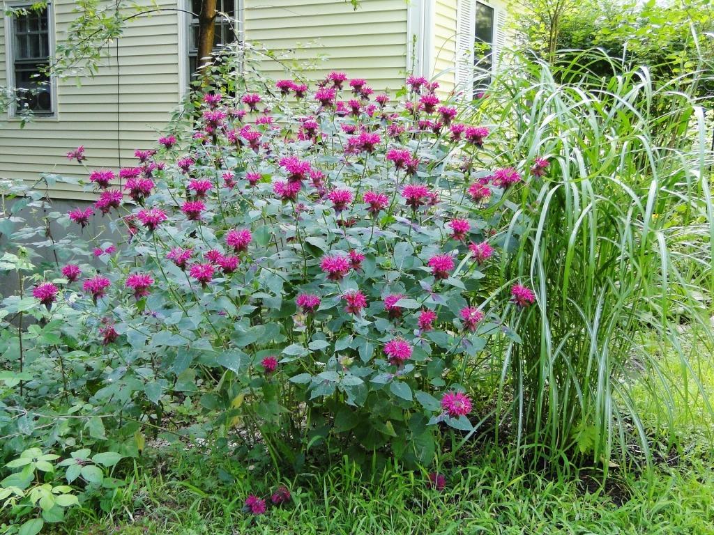 tall flowering monarda bush with bright pink flowers