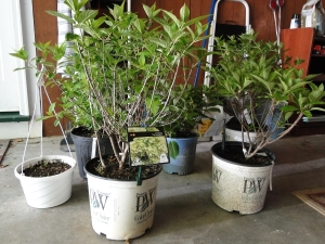 hydangeas in pots