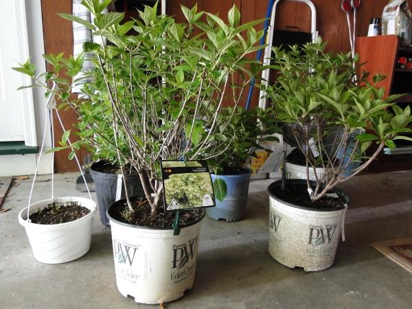 hydangeas in pots