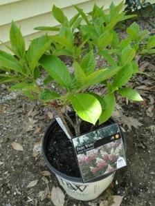 The Pinky Winky Hydrangea Bush