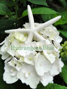 white starfish and hydrangea flower