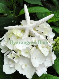 white starfish and hydrangea flower