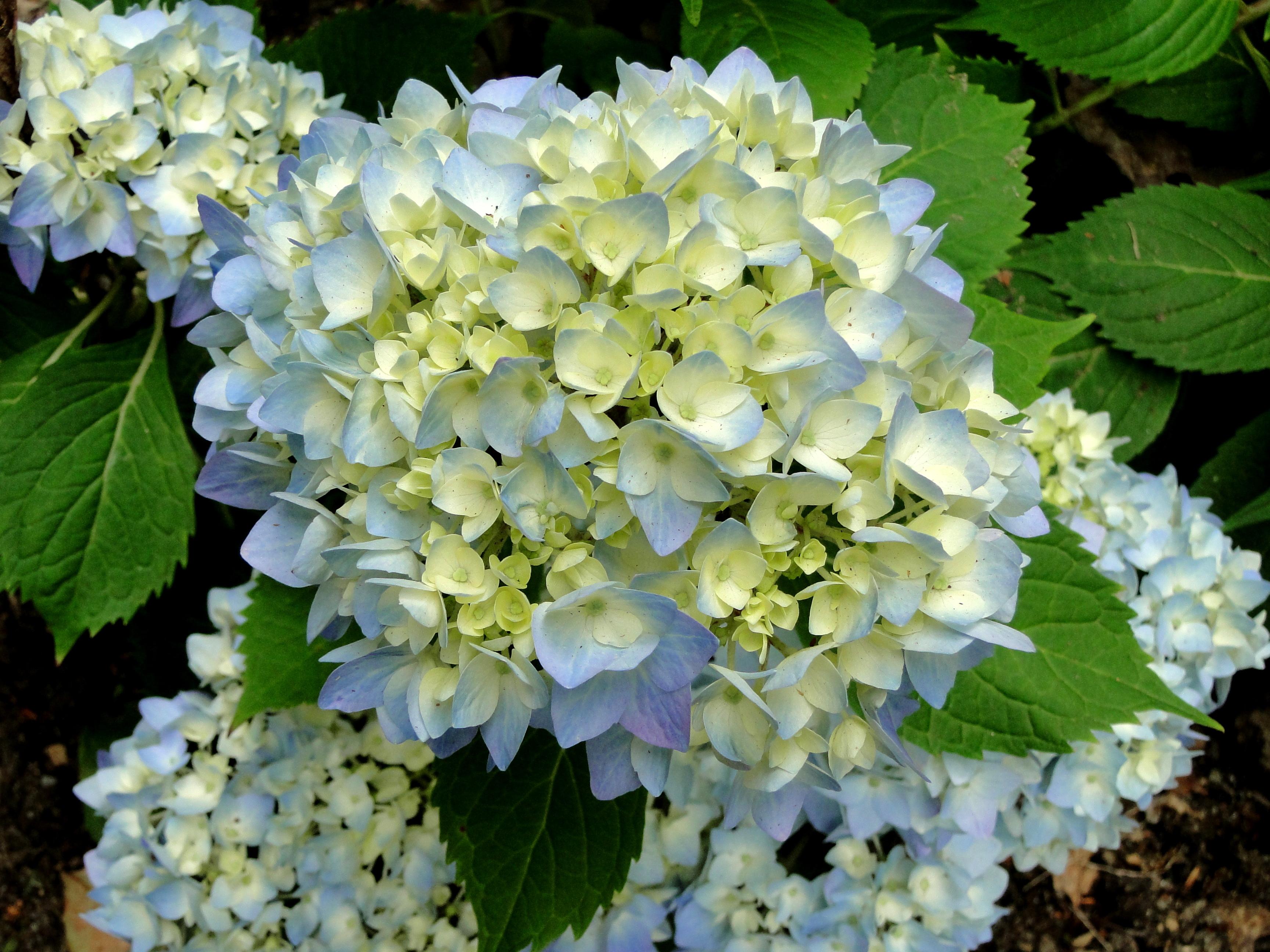 light blue hydrangea flowers