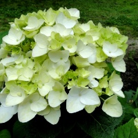 Bloom Hydrangeas, Bloom !!!
