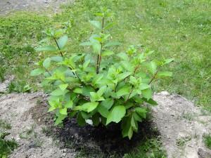 pinky winky shrub