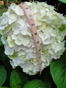 large white hydrangea flower