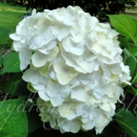Learning From Experience - Which Hydrangeas Are Best?