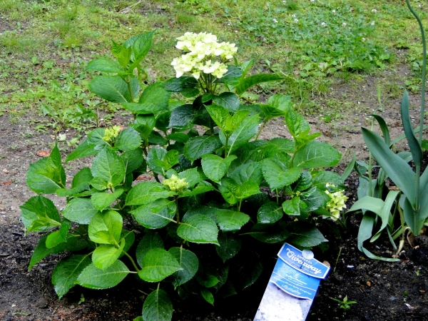 hydrangea shrub in garden