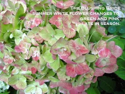 green hydrangea flower