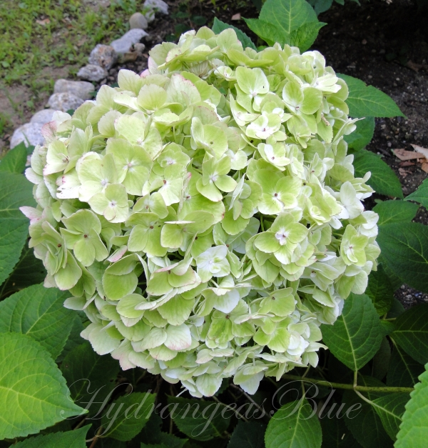 Watching This White Hydrangea Flower Turn Green | Hydrangeas Blue