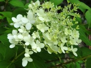 budding limelight hydrangea flower