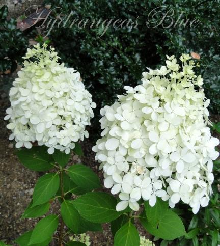 white limelight hydrangea flowers