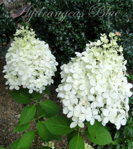 white limelight hydrangea flowers