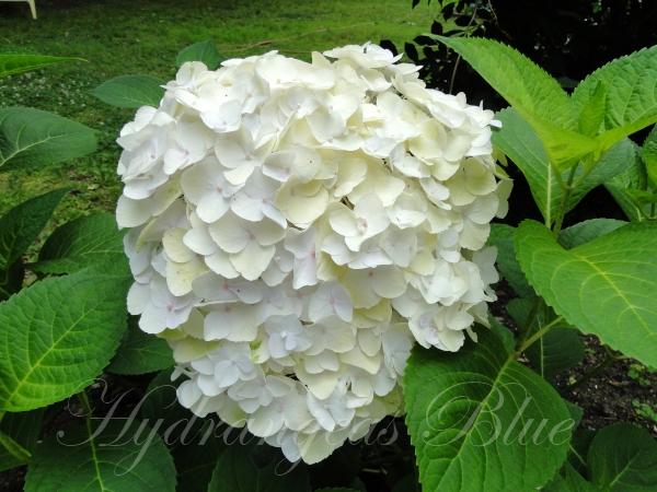 White flower hydrangea