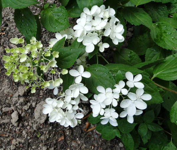 white flowers pee gee