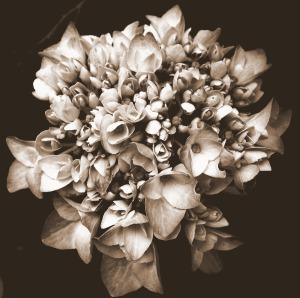sepia photography hydrangeas