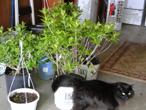 potted hydrangea plants