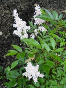 white astilbe