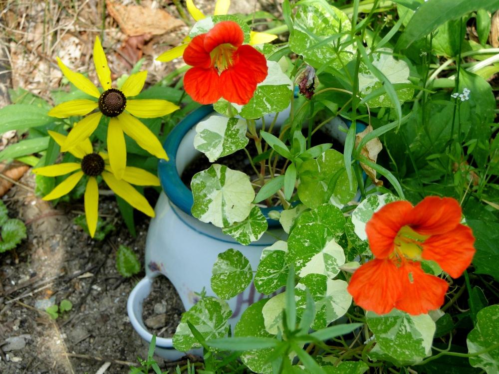 nasturtiums in glass pot