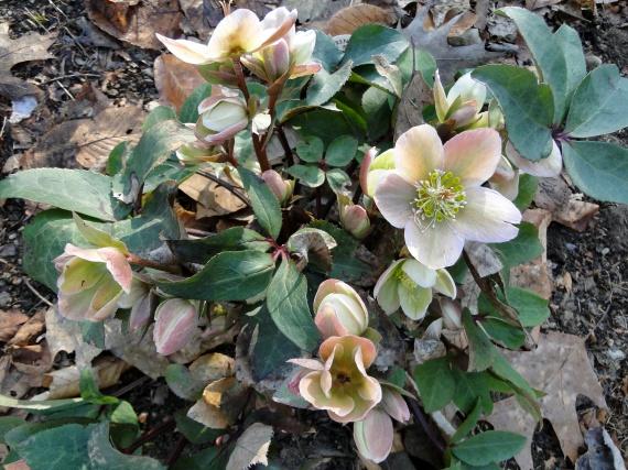 lenton rose bush