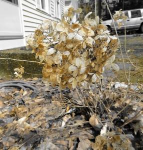 dead spring hydrangea flower