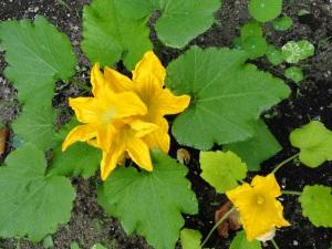 flowers zucchini