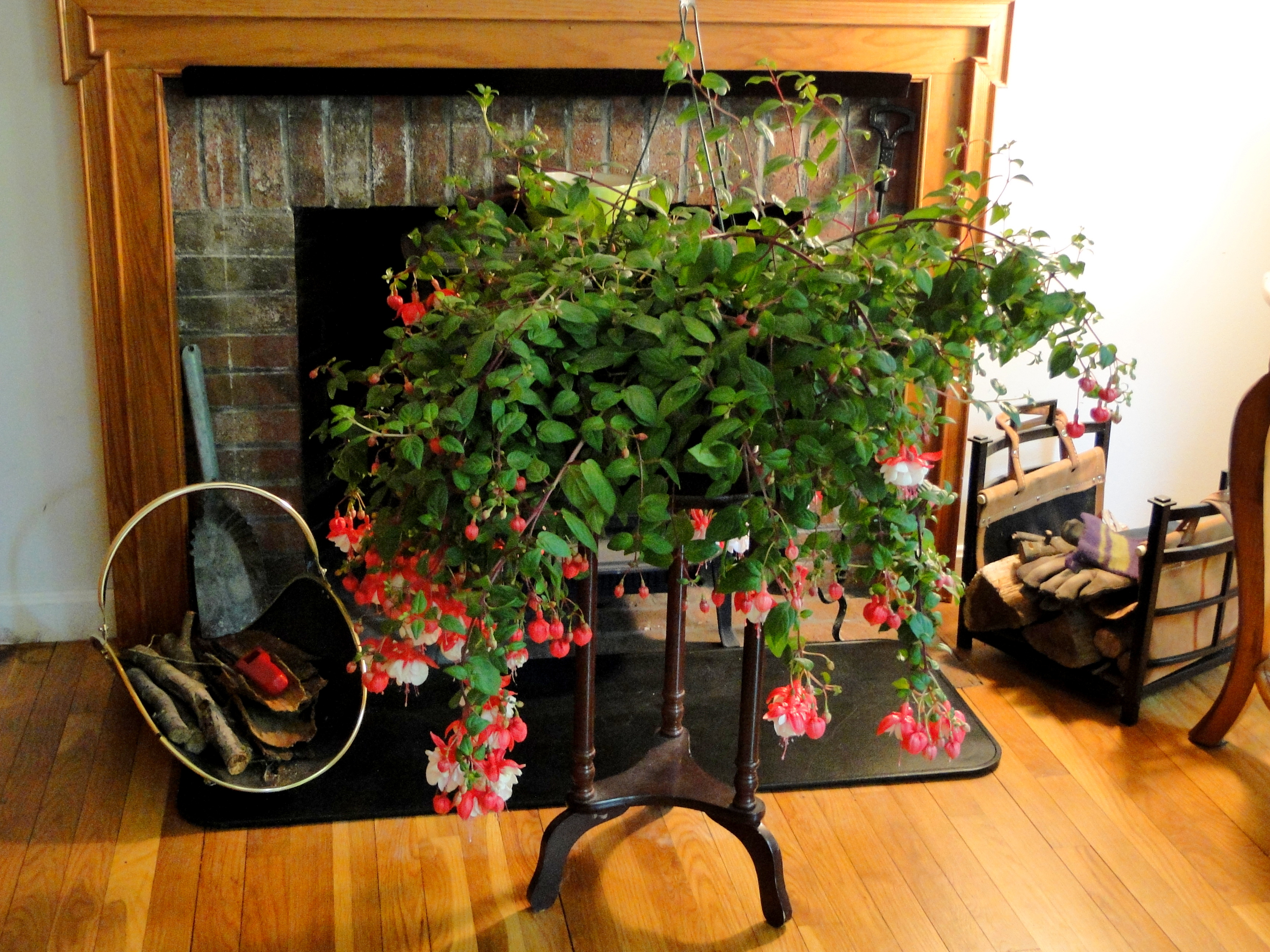 Pink and white fuchsia hanging plant