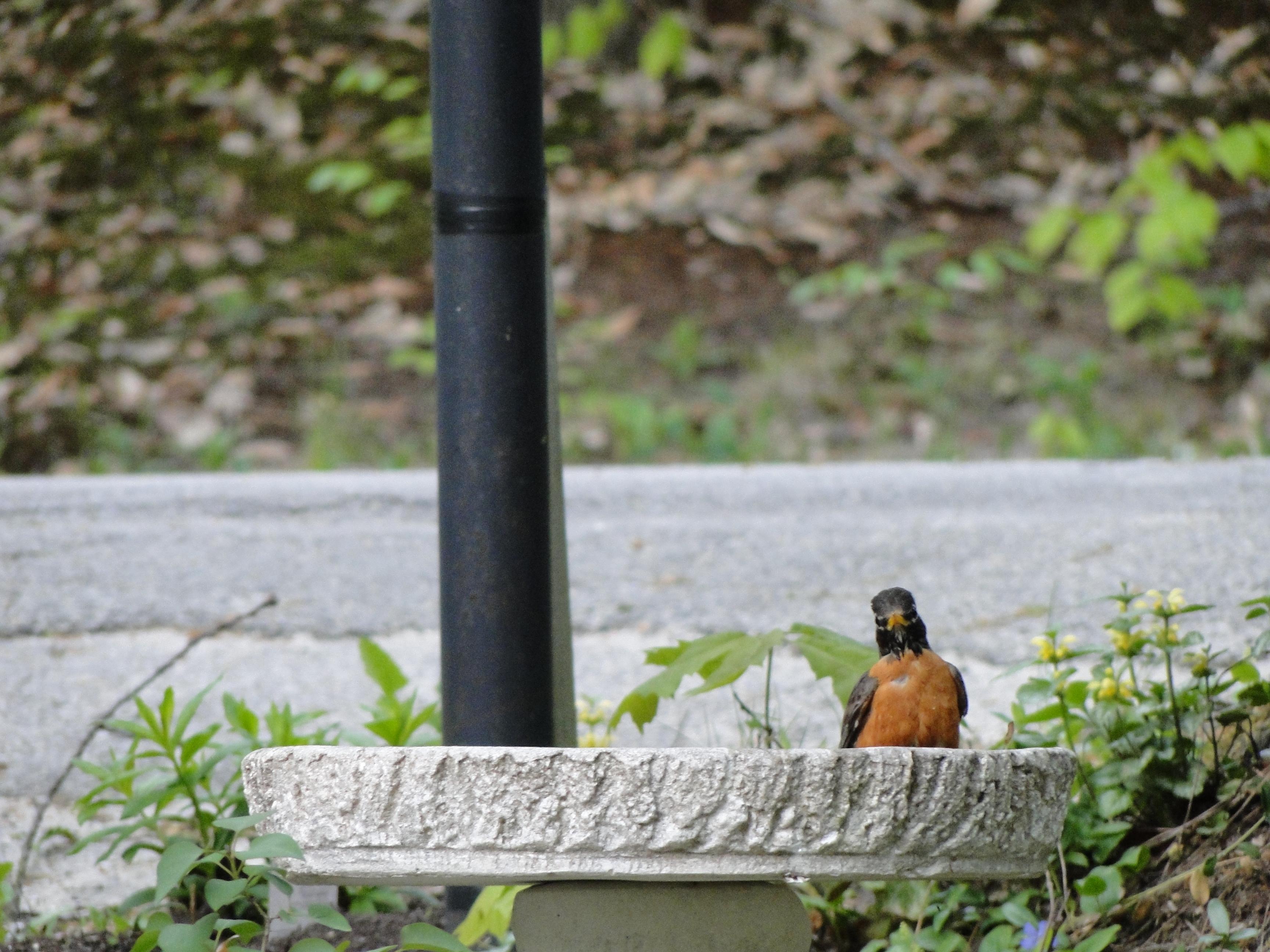 Robin in birdbath