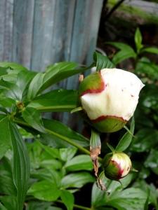 white peony flower buds