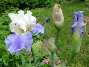 Yes, Blooms This Year!  Bearded Iris in Blue and White