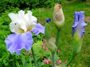 blue iris photo