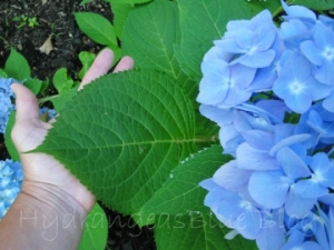 The Big Leaf Hydrangea Variety