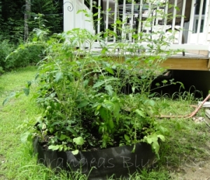 raised bed with tomatoes