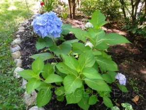 flowering hydrangea shrub