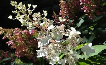 Pinky Winky hydrangea flowers